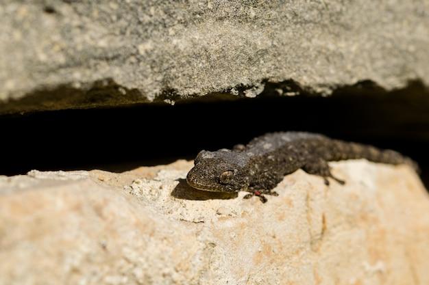 Moorse gekko, tarentola mauritanica, zonnebadend en de huid afwerpen.