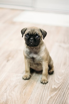 Mopshond puppy