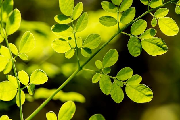 Moringa tak groene bladeren op aardoppervlak.