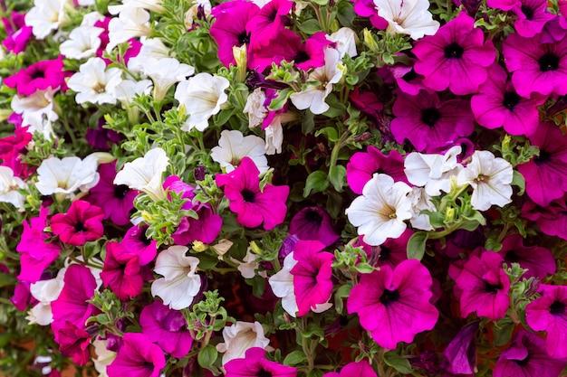 Morning glory ipomoea bloemen achtergrond