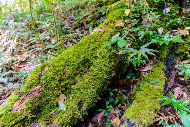 Mos op stammen in kew mae pan nature trail wandelpad door de jungle
