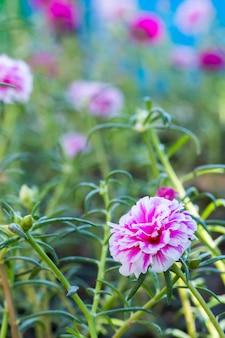 Mosroos of postelein die in tuin bloeien