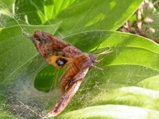 Mot vast in spinnenweb