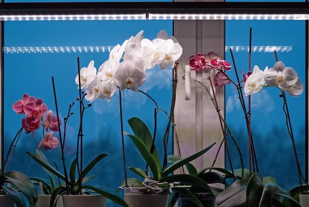 Moth orchid planten bloeien op vensterbank onder lamp in de winter