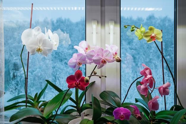 Mottenorchideeën bloeien in de winter op de vensterbank gebruik van kunstlicht bij de verzorging van kamerplanten