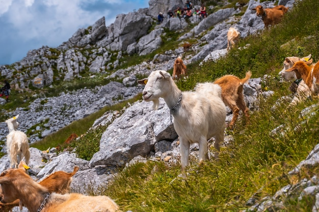 Mount aizkorri 1523 meter, de hoogste in guipuzcoa. baskenland. klim door san adrian en keer terug door de oltza-velden. een groep vrije geiten op de bergbeklimming