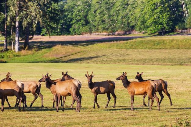 Mountain bull elk in de herfstbos, colorado, de v.s