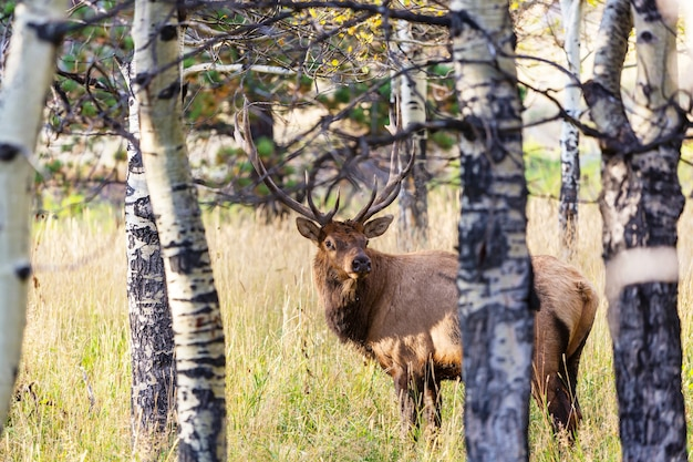 Mountain bull elk in herfst bos, colorado, usa