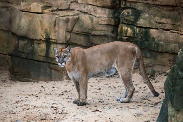 Mountain lion verlaat een diepe kloof