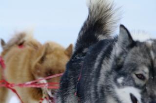 Mountain rit met husky's, rijden