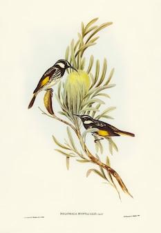 Moustached honey-eater (meliphaga mystacalis) geïllustreerd door elizabeth gould