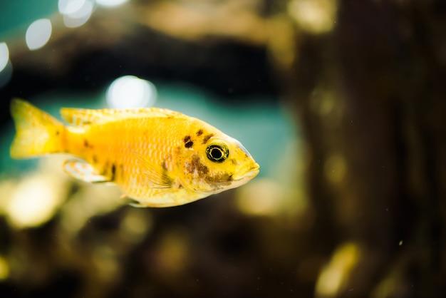 Msobo magunga vis van gele kleur met zwarte vlekken drijft in aquarium. metriaclima in vissentank. cichliden, mbuna.