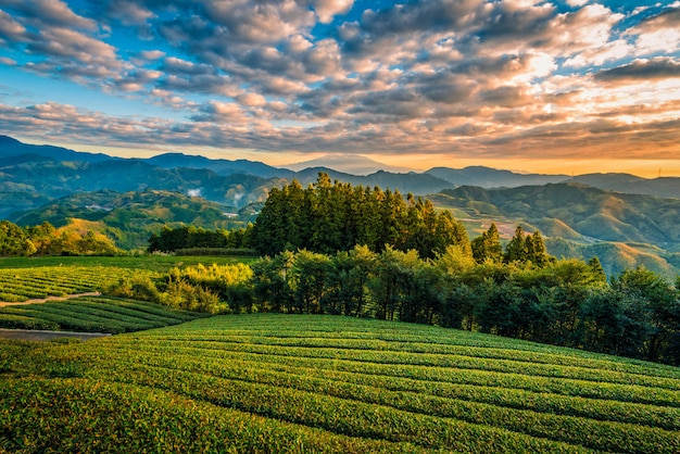Mt. fuji met groene thee veld bij zonsopgang in shizuoka, japan.