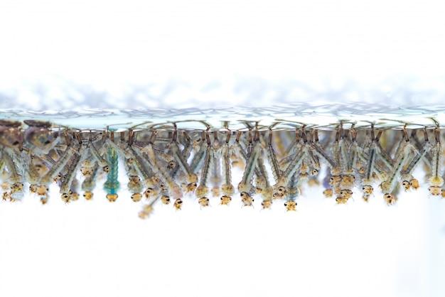 Muglarven in water op witte achtergrond.