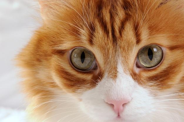 Muilkorf een pluizige roodharige kat close-up