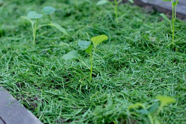 Mulch de bovengrond op een groentebed met gemaaid gras. biohumus organische meststof.