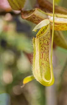 Multi soort nepenthes plant