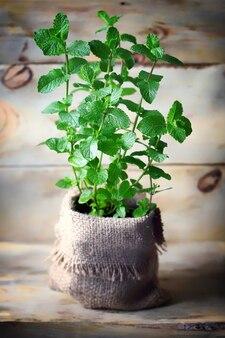 Munt groeit in een pot
