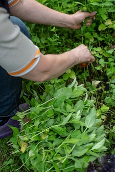 Munt oogsten. vrouw boer handen plukken muntblaadjes in de tuin. gezond kruidenconcept.