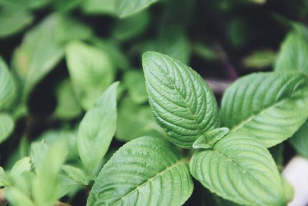Muntblaadjes groeien in de moestuin plant voor kruiden en voedsel