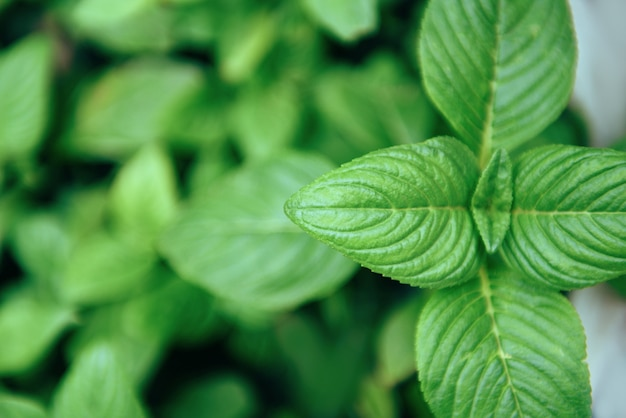 Muntbladeren die in de moestuininstallatie groeien voor kruiden