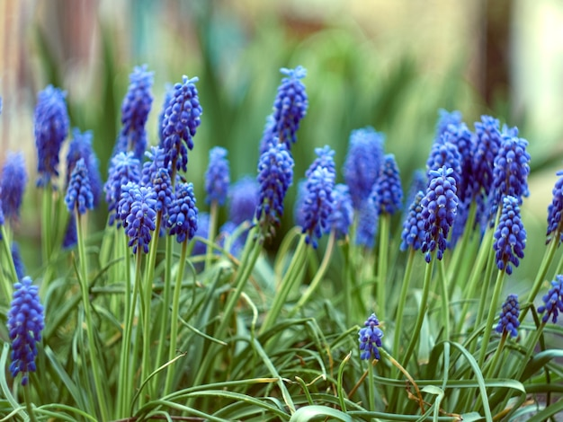 Muscari armeniacum plant met blauwe bloemen.
