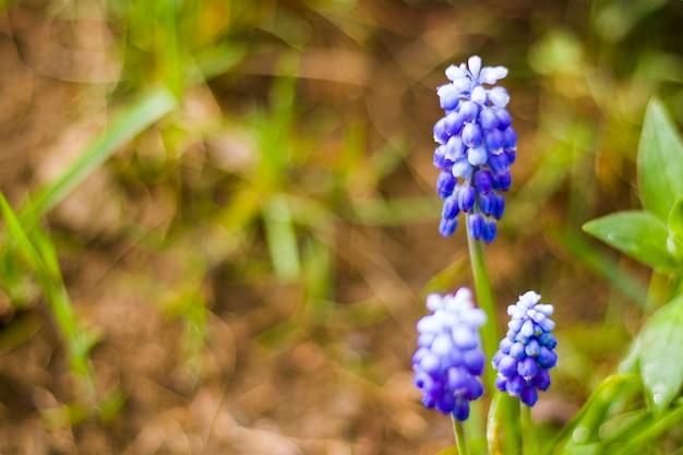 Muscari bloem macro en close-up, bloesem, blauwe en paarse kleur bloemhoofd in het veld