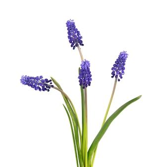 Muscari bloemen geïsoleerd op een witte ondergrond