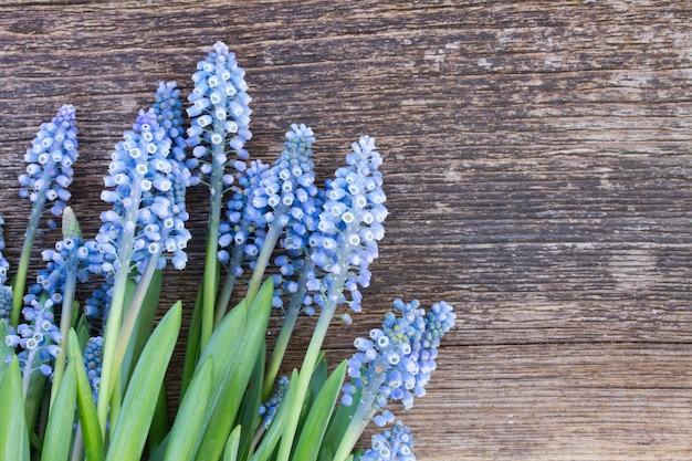Muscari verse blauwe bloemen op houten achtergrond