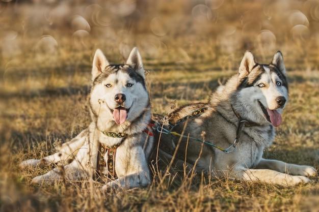 Mushing. hond rust na de race. siberische husky.