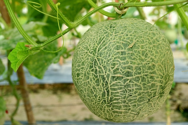 Muskmelon fruit in trees in the greenhouse