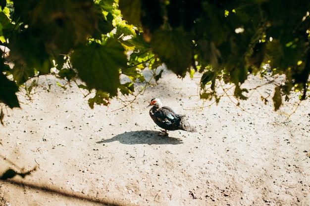 Muskus eend op de grond. een foto vanaf de bovenkant