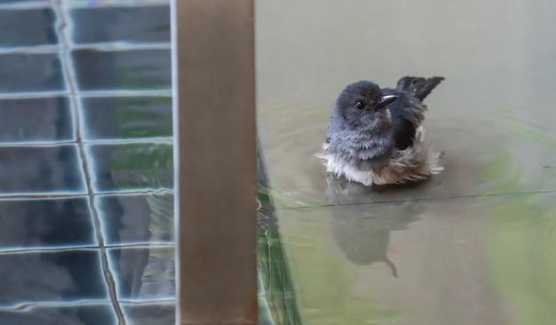Mussen baden in het zwembadwater.