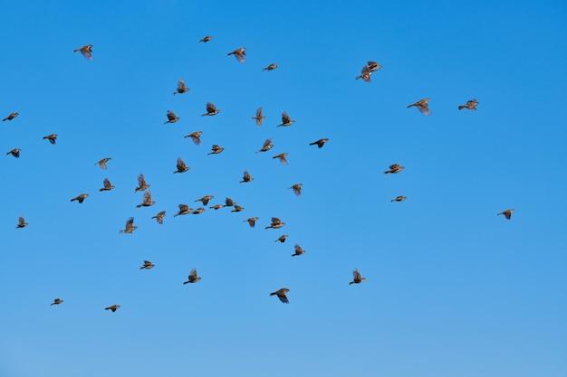 Mussen kudde vliegen in de blauwe lucht. kleine stedelijke vogels