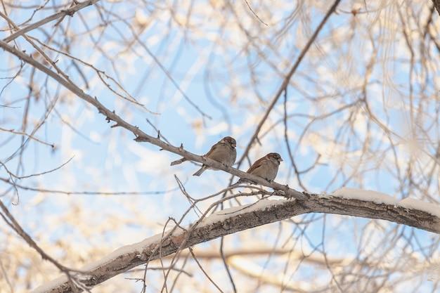 Mussen zitten in de winter op een tak bedekt met sneeuw tegen een blauwe lucht