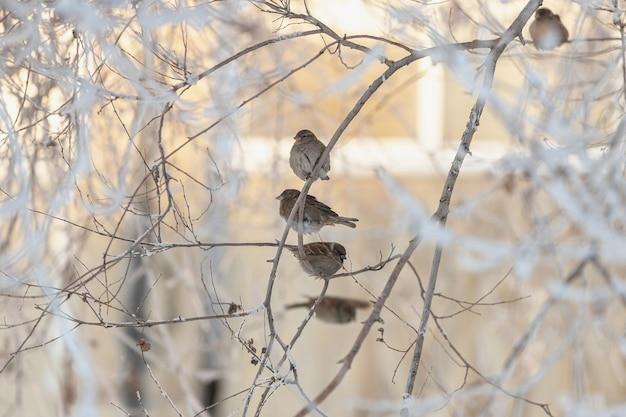 Mussen zitten op een tak die in de winter met sneeuw bedekt is.
