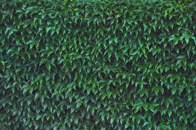 Muur gelijkmatig bedekt met glanzende klimopbladeren.