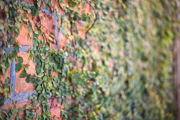 Muur gemaakt van oranje baksteen met klimplanten op de muur, populaire vintage stijl achtergrond met kopie ruimte