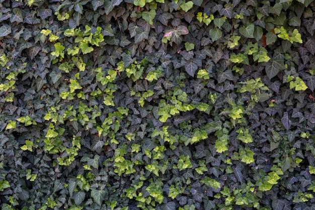 Muur van groene klimop