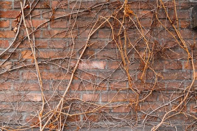 Muur van oud baksteengebouw, overwoekerd met wijnstokken en klimop