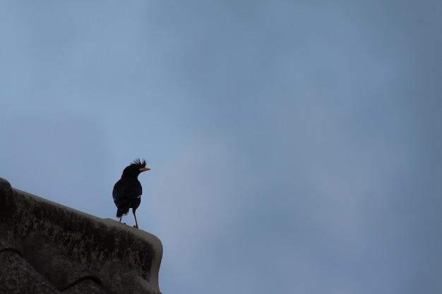 Mynas (geventileerde myna) staat alleen op het dak van het huis terwijl de bewolkte lucht zich een eenzaam thema voelt.