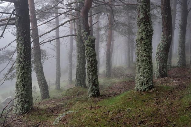 Mysterieus betoverd boslandschap met met mos bedekte bomen en zware mist. morcuera madrid spanje.