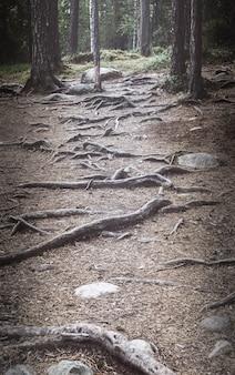 Mysterieus bos, stenen, wortels en stammen van bomen