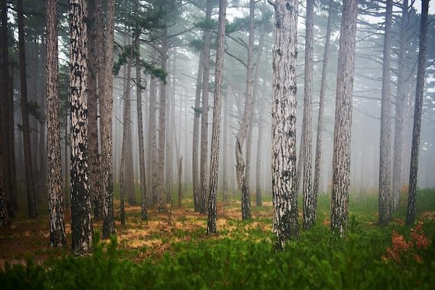 Mysterieus mistig bos met groene pijnbomen