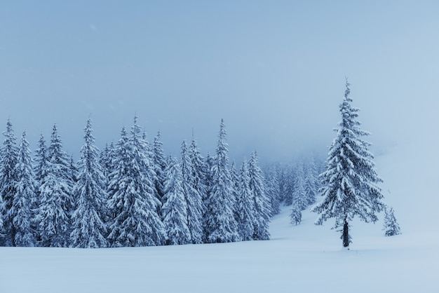 Mysterieuze winterlandschap, majestueuze bergen met sneeuw bedekte boom. foto wenskaart. karpaten oekraïne europa