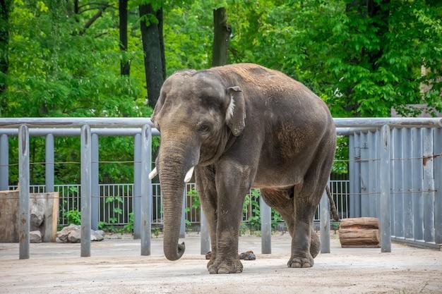 Na het eten heeft een olifant een grote stapel kak opgestapeld