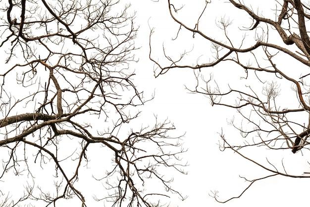 Naakte die boomtakken op wit worden geïsoleerd.