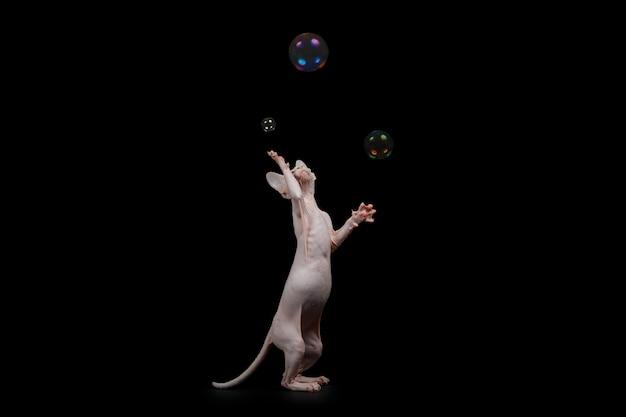 Naakte spelen van katten canadese sphynx met geïsoleerde zeepbels