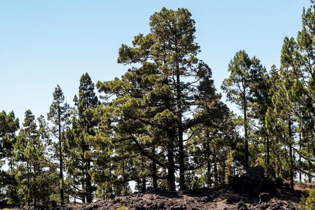 Naaldbomen op een heuvel