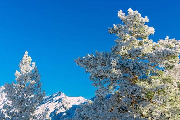 Naaldboom bedekt met pluizige witte sneeuw tegen blauwe lucht en met sneeuw bedekte bergtoppen